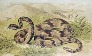 Csorgokigyo Papaszemes kobra
