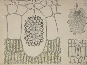 Ficus furtkristaly