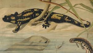 Foltos szalamandra Tarajos gote